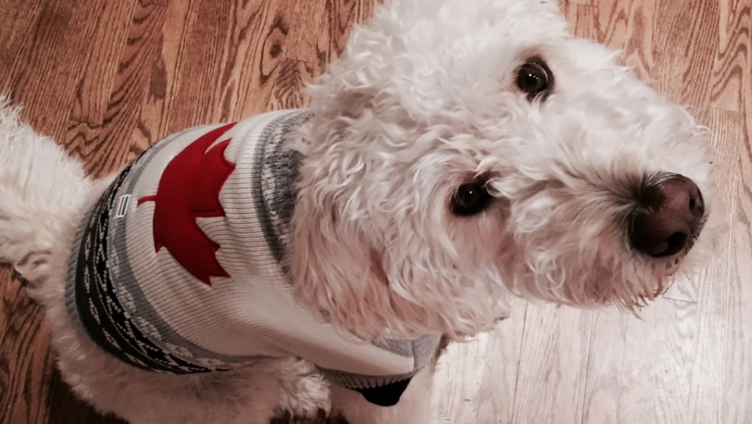 Olympic Club dog hoodie