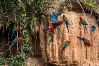 Macaws in the Amazon jungle